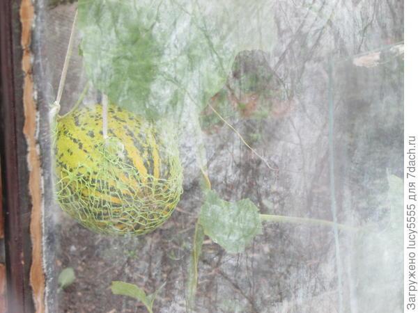 У наших садоводов тоже растут дыни