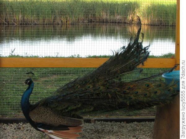Хоздвор: павлины, золотые фазаны, утки, кролики