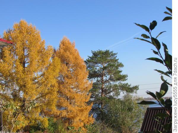 Две лиственницы и сосна на соседнем участке