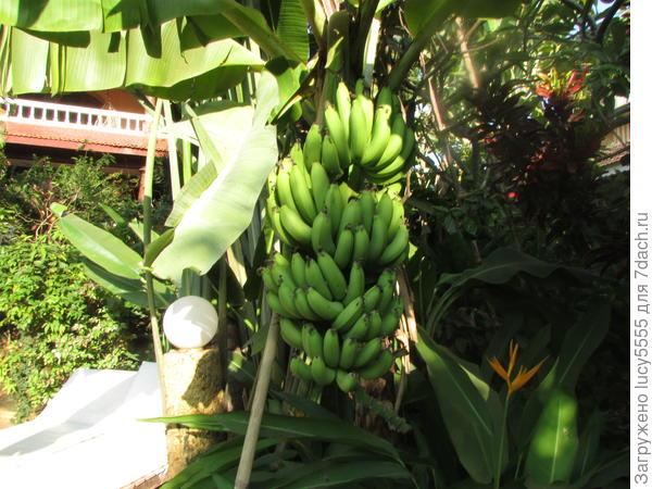 Бананы во дворе отеля