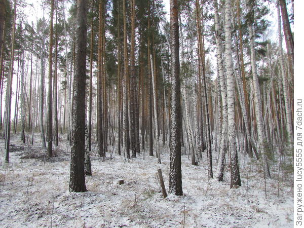 """полосатый"" лес"