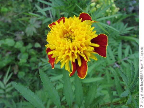 Бархатцев цвет