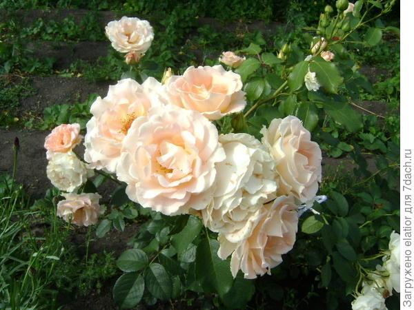роза Рококо, грандифлора