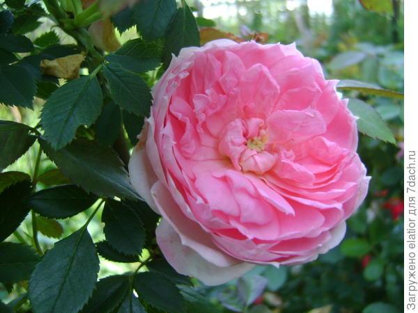 роза канадка Прейри Джой, устойчивая как шиповник, пахнет яблочком )