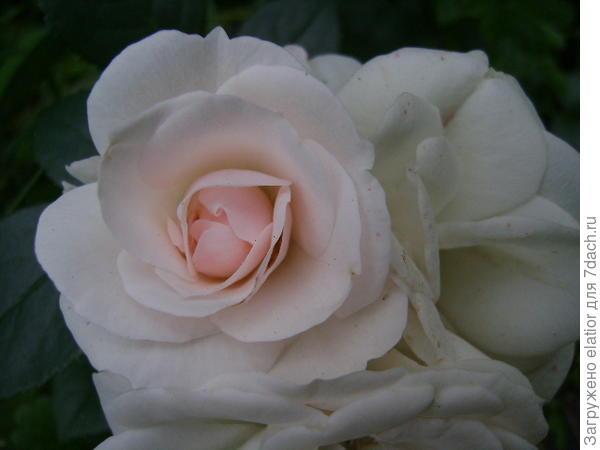 """красавица Маргарет Меррил, английский сорт, очень нежная, """"фарфоровая"""" роза"""