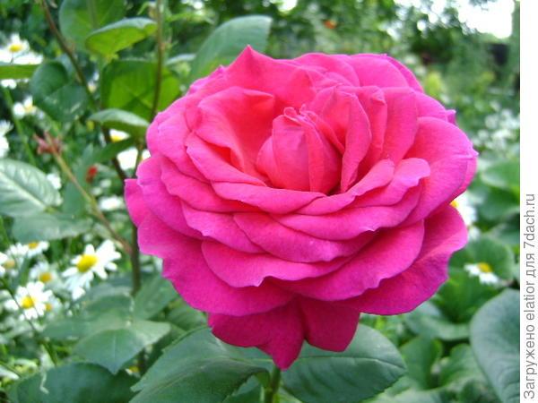 роза Биг Перпл - очень душистая роза, сорт из Новой Зеландии, любительский