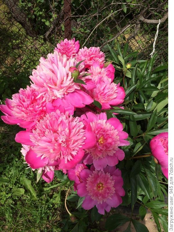 Мамины розовые