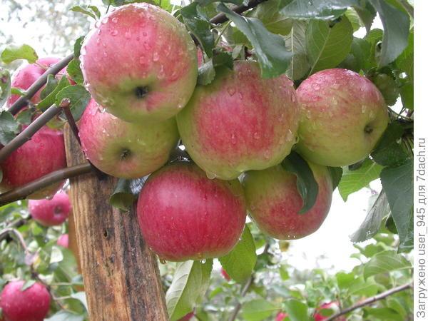 Веточки только с подпорой выдерживали количество яблок!