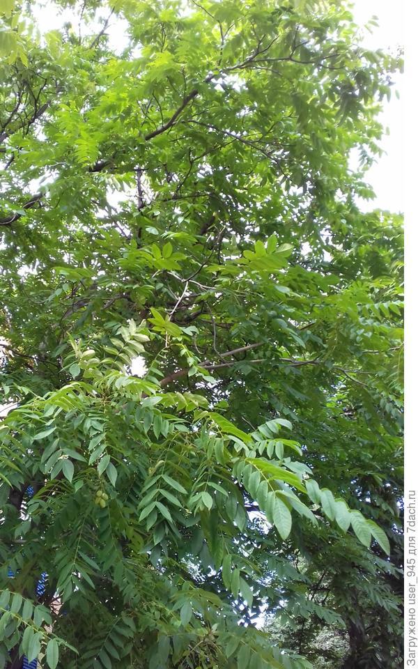 Незнакомое дерево
