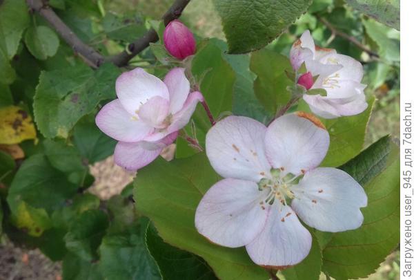 1 октября, яблонька цветет!