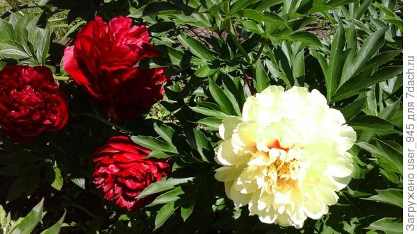 Жаль солнце высветлило желтый цвет, фото прошлогоднее и хризантемка еще не зацвела