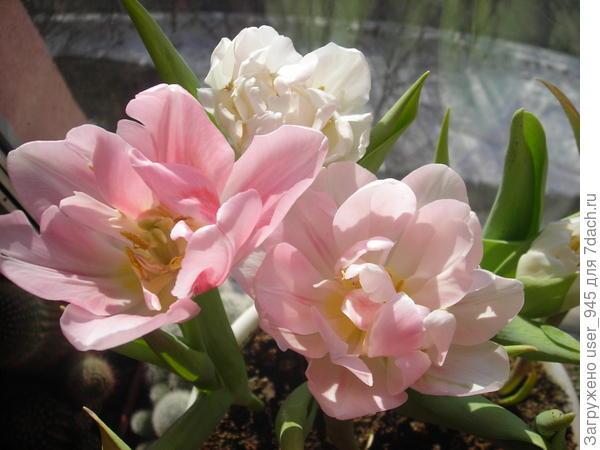 Тюльпаны замечательной девушке!!!