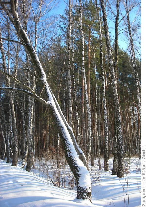 А это лесок рядом с маминым поселком, у них гораздо чище в лесу))