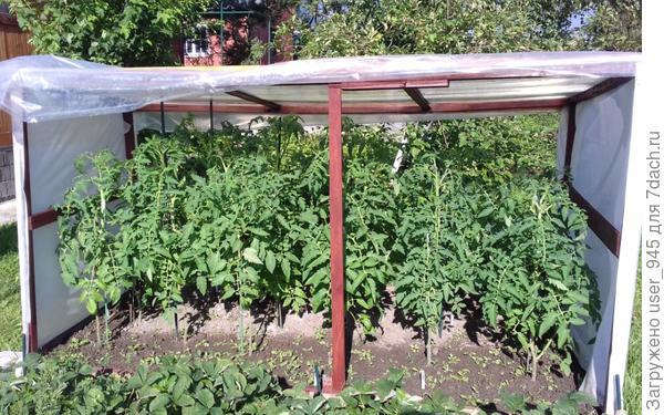 А это минитепличка для уличных помидоров от непогоды, чуть-чуть повыше бы))