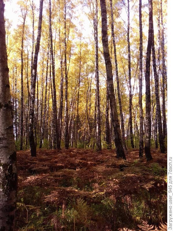 Лес выглядит прозрачным и золотым))