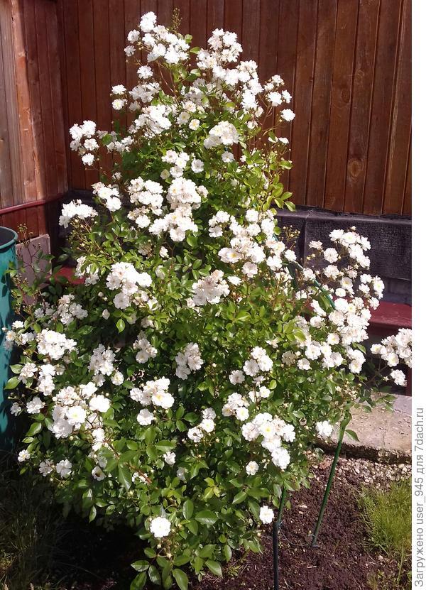Это она в начале цветения, потом около месяца цветет по немногу, и в конце августа опять пышно и на новых побегах до самых заморозков в бутонах))