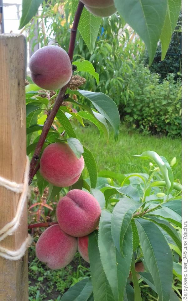 Это первый урожай персика в 2016г, стволик подвязан к палке, чтобы не сломался)) фото пришлось скачать из своих же фоток для фотоконкурса.