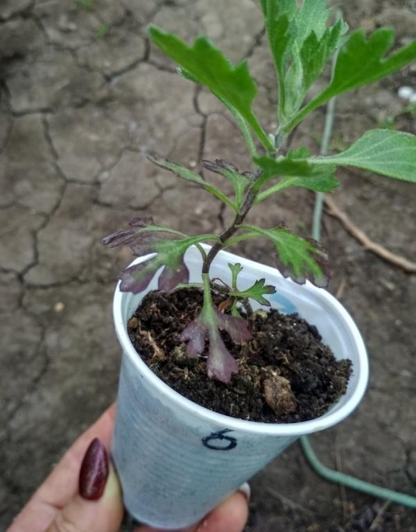 Почему поменяли цвет нижние листочки на рассаде хризантемы?