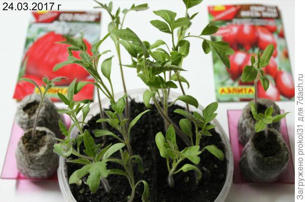 """томат """" Пир на весь мир """" ( справа )"""