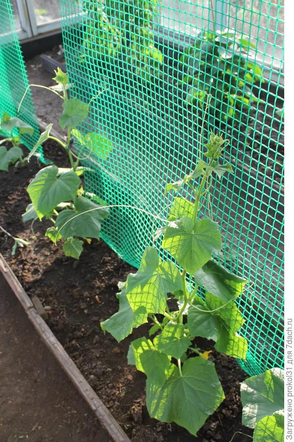 кусты огурцов вьются по сетке