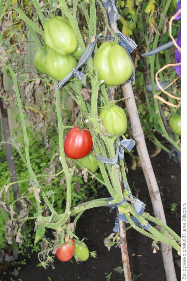 первый спелый томат  10.08