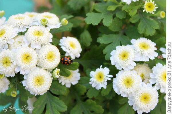 Девичья хризантема