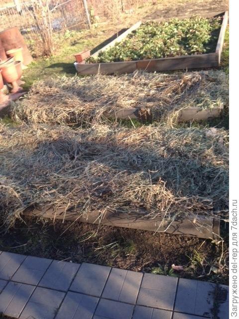 Травой -осокой укрываю подзимние посевы. Весной осока будет измельчена .