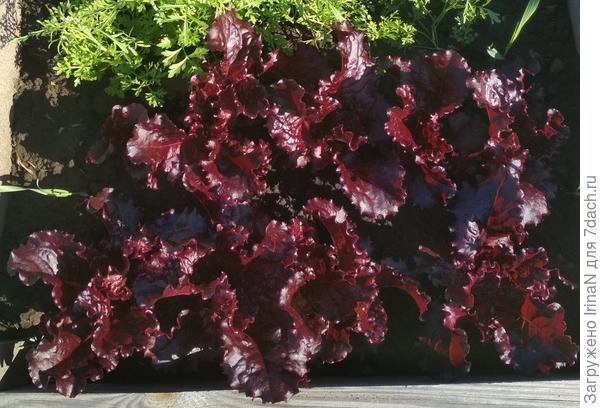 Салат листовой Гранатовый блеск
