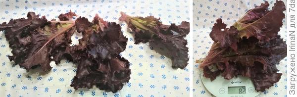 Вырос салат 'Гранатовый блеск' на грядке, теперь с витаминами у нас всё в порядке!