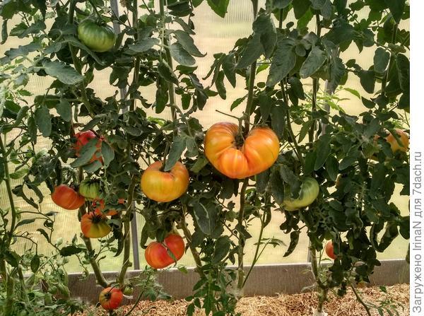 Не зря об урожае мы мечтали - томаты 'Биколор' с 'Хурмой' собрали!