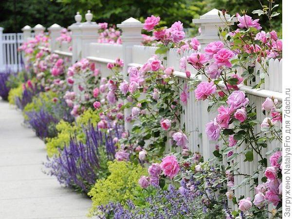 Розы и лаванда у забора.