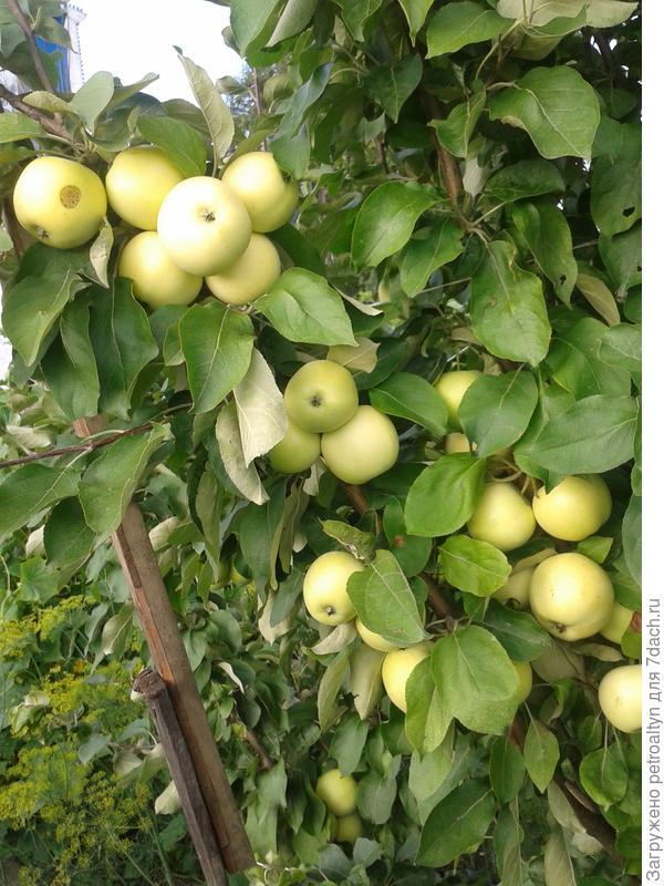 яблочки неопознанного сорта