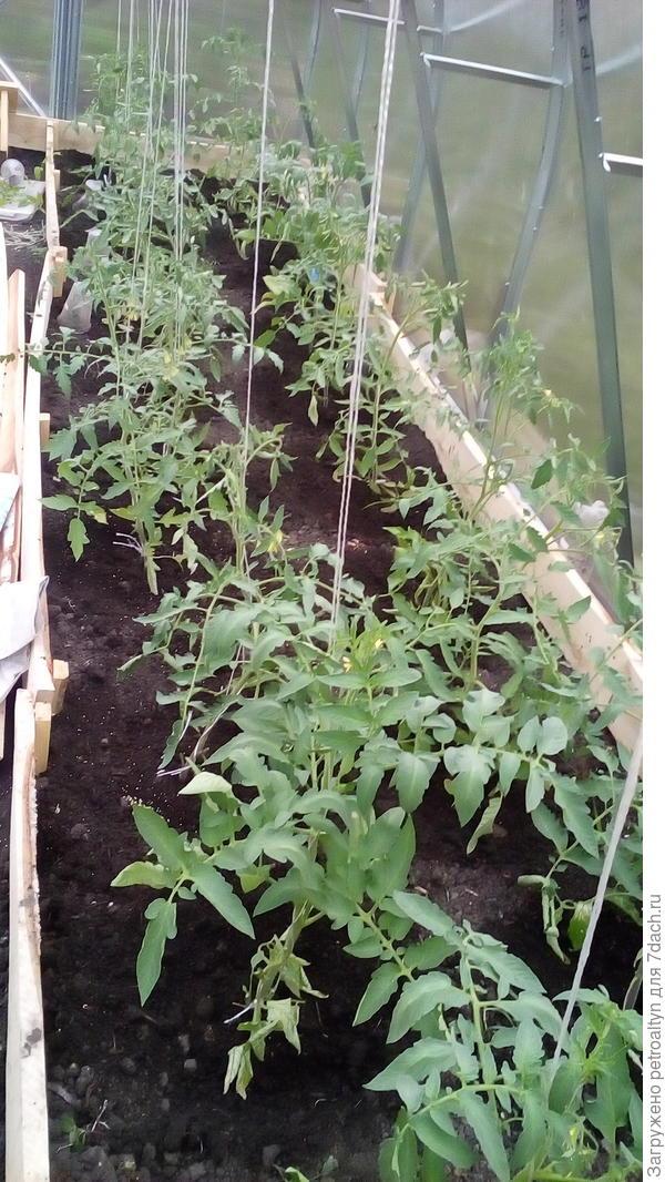 помидоры, 24 куста.