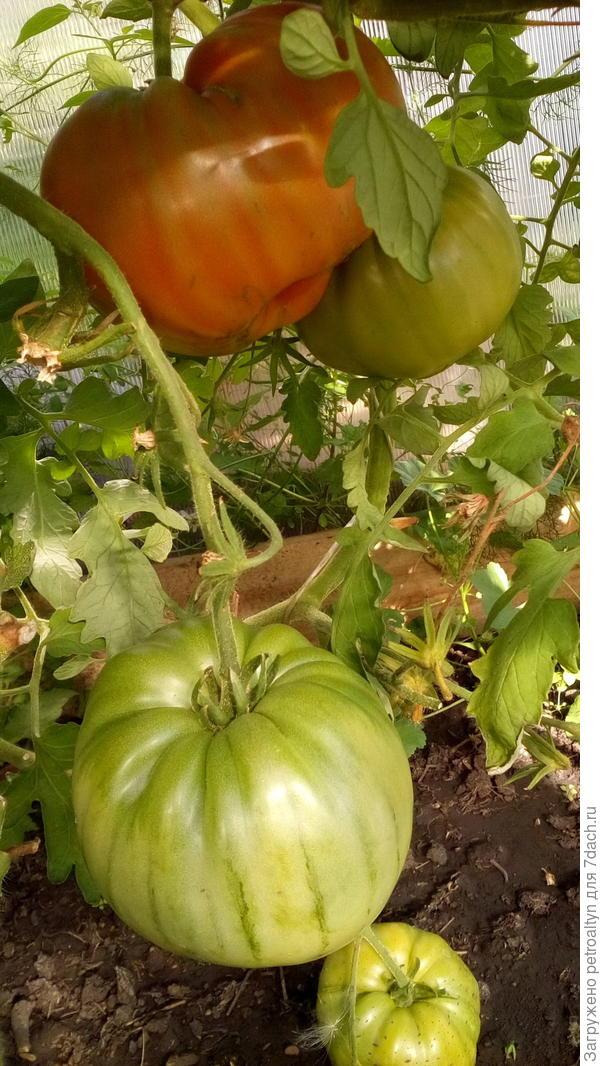 спецназ действительно, как и заявлялось дал  два урожая. Нижние кисти - огромные тяжелые плоды, в конце осени - на верхних ветках плоды помельче.