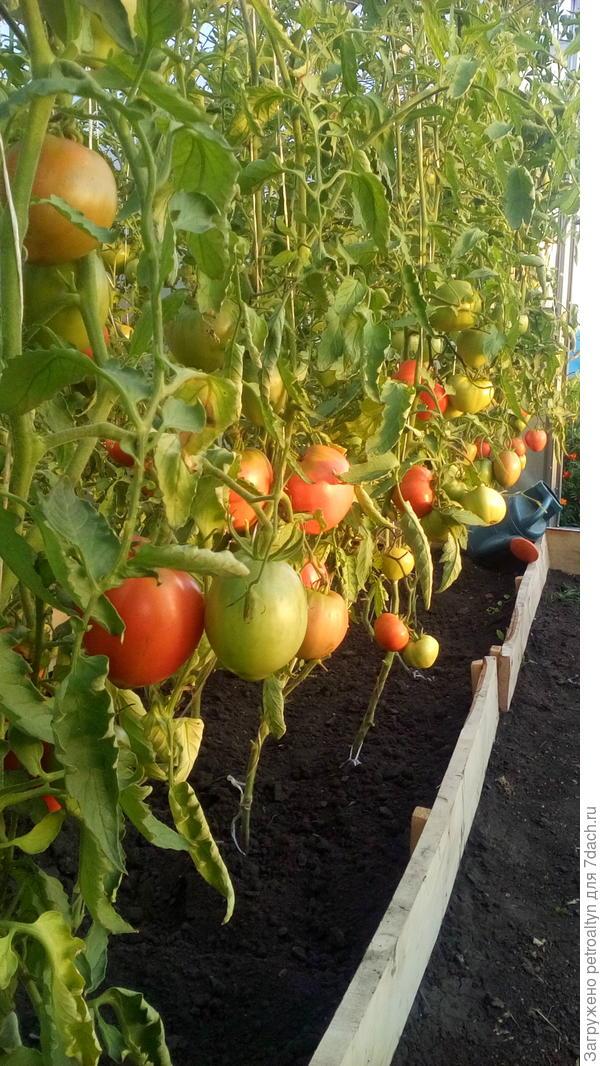 помидоры без первых кистей