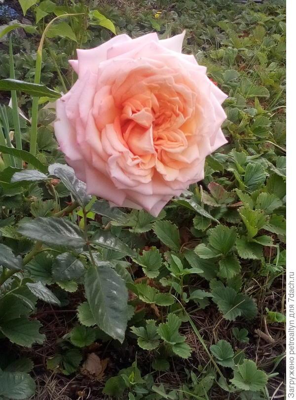 красавица розочка так пока не доросла до арки