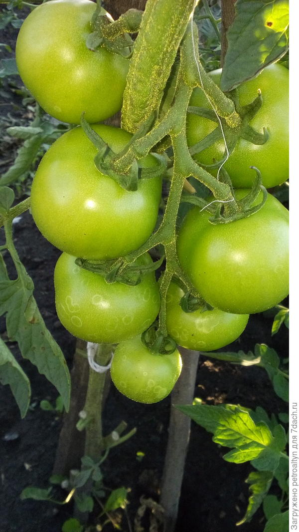 грунтовые помидорчики