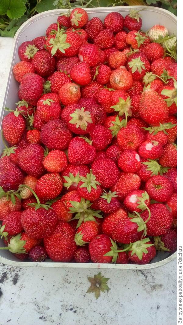 первые ягодки пошли