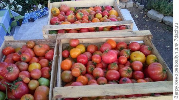 помидоры на томатный сок