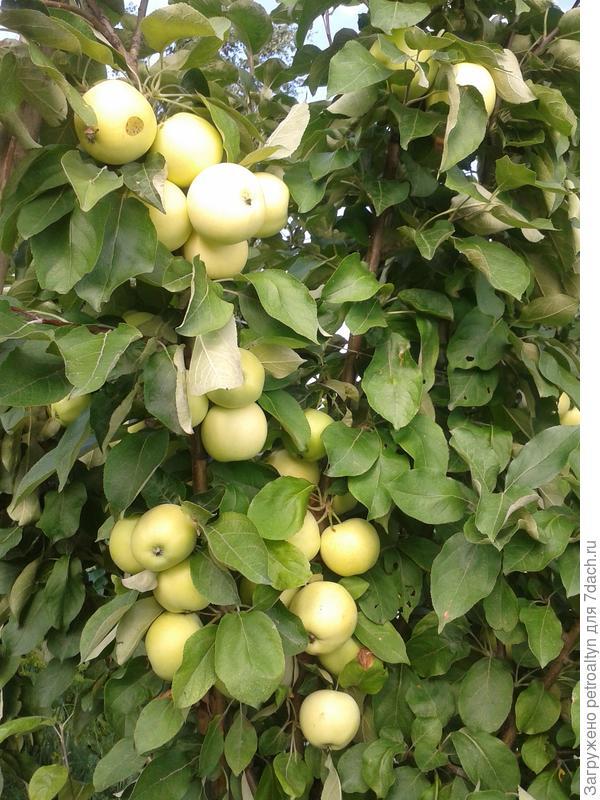ранние яблочки