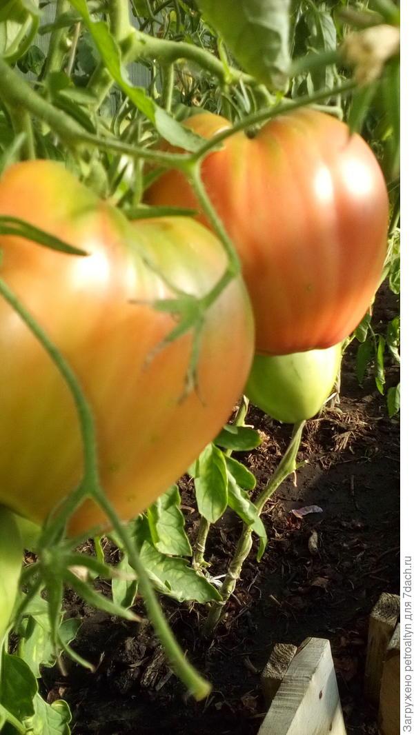 помидоры спецназ