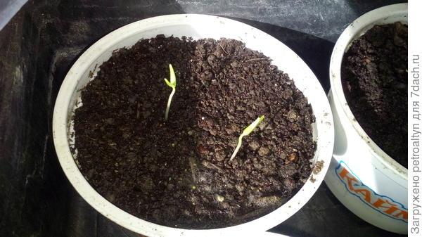 через неделю показались первые ростки и петельки баклажанов