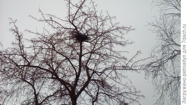 осенью на этой яблоне птицы свили гнездо. Весной посмотрим кто. Вороны , наверное.