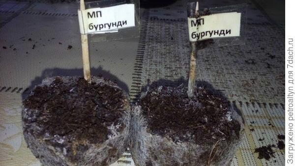 фото №9 контрольное фото не взошедших сеянцев. (21 марта, один месяц с начала посева.)