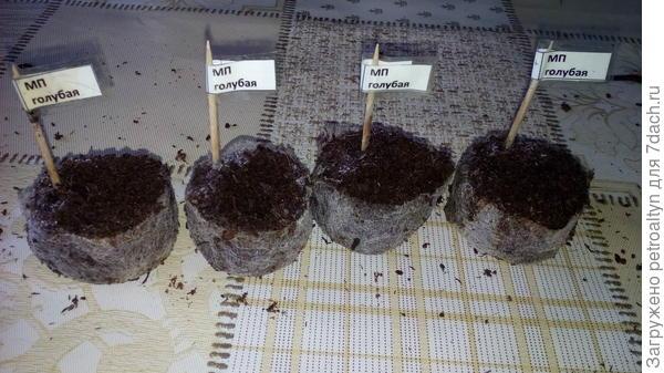 фото №8 Контрольное фото 21 марта, не взошедшие через месяц после посадки МП голубая 4 штуки, снимаются с дальнейшего тестирования.
