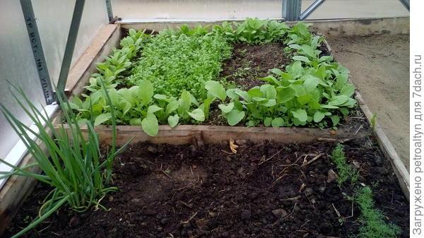 редиска, уже второй посев. и кресс-салат, наполовину съеден), лучок, укроп.