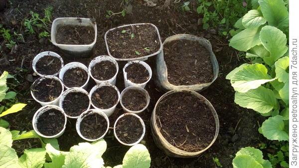 вот, опять же, в теплице - посеяла кабачки, ипомею, капусту позднюю, цветок - малопу(?)