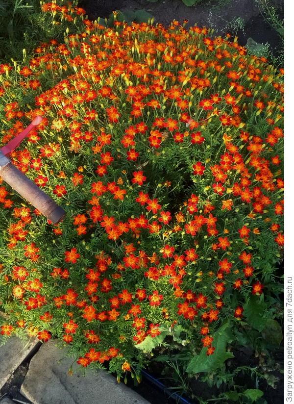 это красный. огромный шарик был для одного растения, я считаю.