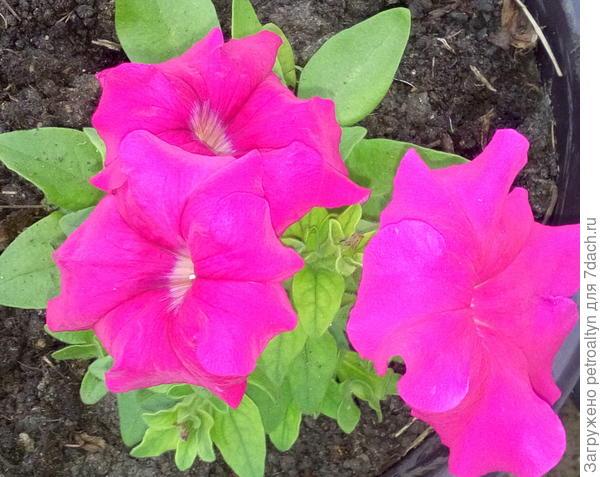 Рассада комплиментунии розовой зацвела самой первой