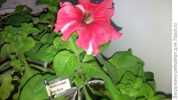 цветение Комплиментунии  фото 26 апреля